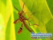 papaya fruit fly Male toxotrypana curvicauda