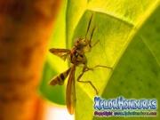 toxotrypana curvicauda male mosca de la papaya macho