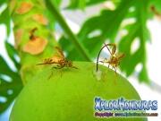 toxotrypana curvicauda mosca de la papaya hembra y macho