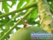 toxotrypana curvicauda mosca de la papaya hembra