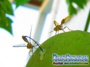 toxotrypana curvicauda mosca de la papaya