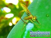 toxotrypana curvicauda mosca de la papaya macho y hembra