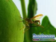 toxotrypana curvicauda papaya fruit fly female