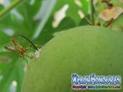toxotrypana curvicauda papaya fruit fly