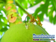toxotrypana curvicauda papaya fruit fly male and female