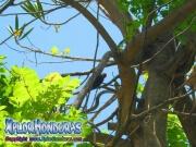 pajaro carpintero melanerpes aurifrons