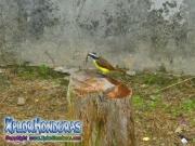 Great Kiskadee bird photo