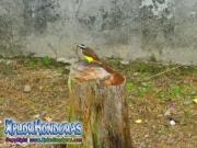 Pajaro Pecho Amarillo Cristofue