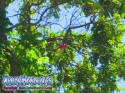 Ave Tangara Roja volando