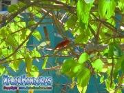 Summer Tanager Bird