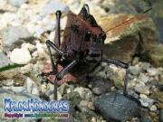 parque nacional pico bonito, rio cangrejal, naturaleza saltamonte insecto raro