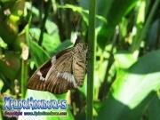 parque nacional pico bonito, rio cangrejal, naturaleza en parque nacional nombre de dios mariposa nocturna