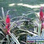 Ananas nanus pina ornamental Jardin Botanico Lancetilla