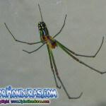 Fotos Araña de Huerto Leucauge venusta