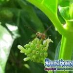 Avispa de papel Mischocyttarus mexicanus