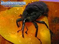 Fotos Escarabajo Rhynchophorus palmarum ronron