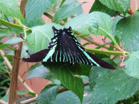 Fotos y Datos de Mariposa Colipato Verde Urania Fulgens Urania Swallowtail Moth Green Urania