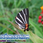 Fotos Mariposa Panthiades bathildis Zebra Cross streak