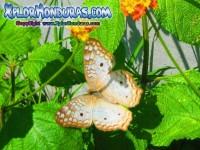 Fotos mariposa Anartia Jatrophae, White Peacock