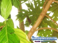 Colibri Esmeralda Honduras Amazilia Luciae