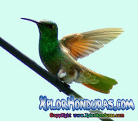 colibri esmeralda honduras portada