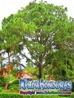 El Pino Arbol Nacional de Honduras
