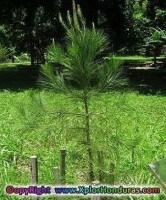 el pino arbol nacional de honduras portada