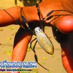 Fotos Araña Nephila Clavipes