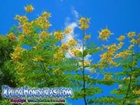foto flor Acacia Amarilla