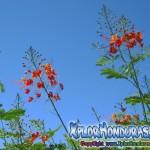 Fotos Flor Acacia Roja