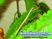 Fotos Mantis Religiosa