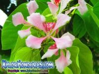 Fotos flor Casco de Vaca Bauhinia Monandra