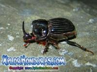 fotos escarabajo Oryctes nasicornis European rhinoceros beetle