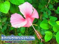 fotos hibiscus, mar pacifico, rosa-sinensis