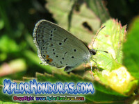 fotos mariposa Cupido comyntas Eastern Tailed Blue