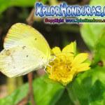 Fotos Mariposa Eurema lisa, Little Yellow