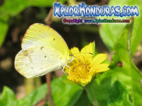 Fotos Mariposa Eurema lisa, Little Yellow