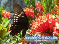 fotos Mariposa Broad-banded Swallowtail Papilio astyalus