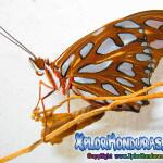 Fotos Mariposa Agraulis Vanillae