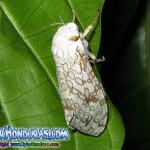 fotos mariposa nocturna Leopardo giant brown Leopard Moth Hypercompe scribonia Ecpantheria scribonia