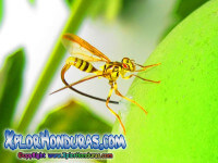 fotos toxotrypana curvicauda, Mosca de la papaya, papaya fruit fly