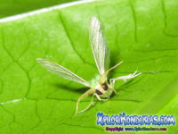 Mariposa Geometra papilionaria Butterfly Moth Honduras