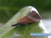 Mariposa Hypena proboscidalis Polilla del Hocico