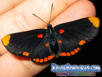 Mariposa Melanis Pixe Sanguinea Fotos