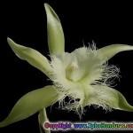 orquidea rhyncholaelia digbyana flor nacional de honduras