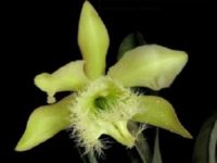 Orquidea Rhyncholaelia digbyana Honduras